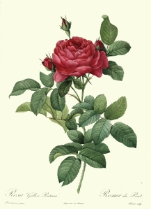 rosa gallica drawing