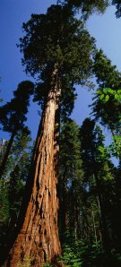 A coast redwood, the tallest species of tree still existing.